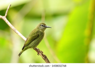 Palm Tanager - On a Perch