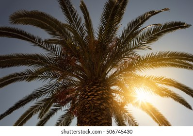 Palm Tree against the sky at sunset