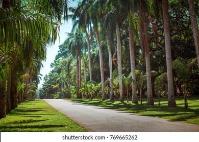 Palm tree alley in Royal Botanic King Gardens. Peradeniya. Kandy. Sri Lanka.
