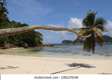 Palm  tree at Baie Lazare, Mahé Island, Seychelles.