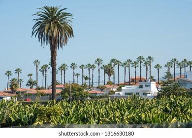 Palm tree and banana trees in the urbanization of San Nicolas in Puerto de la Cruz in Tenerife, Canary Islands
