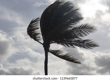 Palm Tree Before a Tropical Storm or Hurricane
