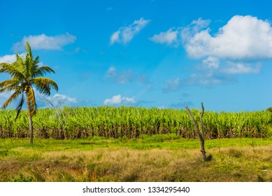Palm tree by a sugar cane field in Guadeloupe, French west indies. Lesser Antilles, Caribbean