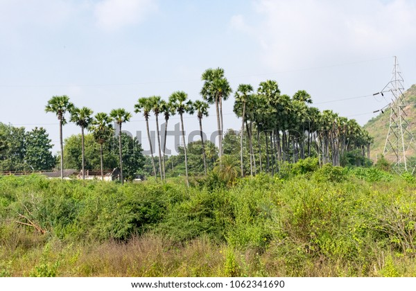 A palm tree close plantation in a row looking awesome at farmland.
