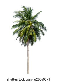 palm tree of coconut isolated on white background, The collection of trees.