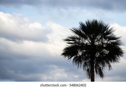 Palm. Tree, dark sky background.