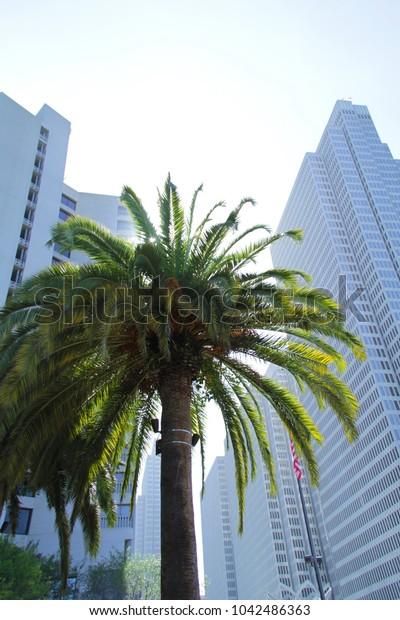 palm tree in Downtown San Francisco, California, USA