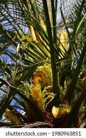 Palmenbaumblume Gelbe hohe Auflösung