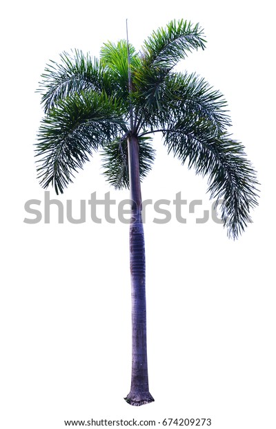 Palm tree (Foxtail Palm) isolated on white background for Landscape.