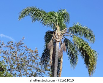 Palm tree in the Funchal Municipal Garden in the island of Madeira