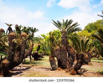 Palm tree in the garden at Korakuen park in Okayama city, Japan
