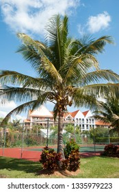 Palm tree growing next to the tennis court in Freeport resort town on Grand Bahama Island.