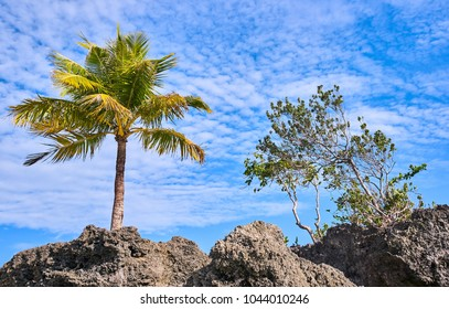Palm tree growing from the rock view on a blue sky