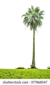Palm tree isolate on white background.