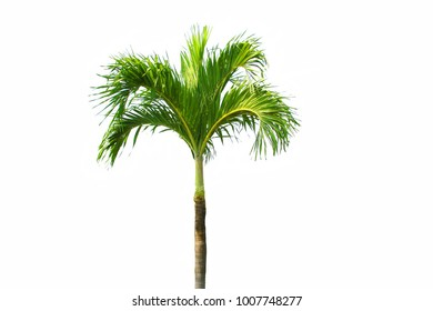Palm tree with isolated background.