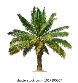 Palm tree isolated on white background (African palm oil)  for park or garden decoration