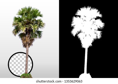 Palm tree isolated on white background with high quality mask alpha channel and clipping path. Can used in architectural design or Decoration work. Suitable for natural articles fine print / web page
