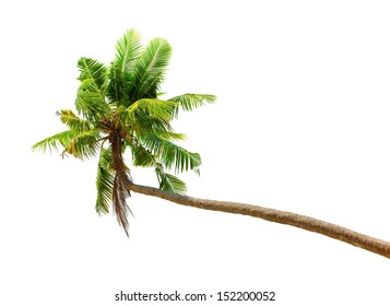 Palm tree isolated on white background. Green coconut palmtree tropical nature plant