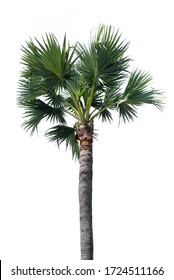 Palm tree isolated on white background. Tropical trees popularly used to decorate the garden outside the building. Large trees are growing in summer. Clipping path included.
