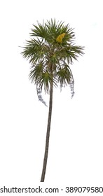 Palm tree isolated over white