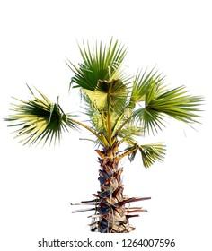 palm tree isolated white background.