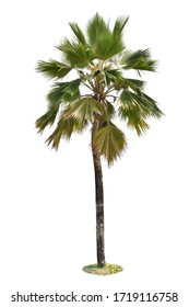 Palm tree isolated from white background with clipping path