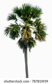 Palm tree isolated with white background