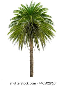 Palm tree with a large crown. Isolated over white.