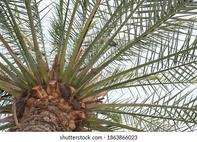Palm tree with a Laughing Dove resting