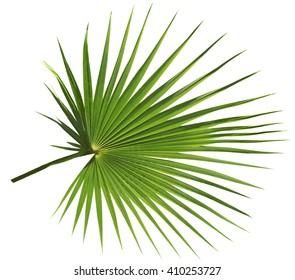 Palm tree leaf isolated on white background