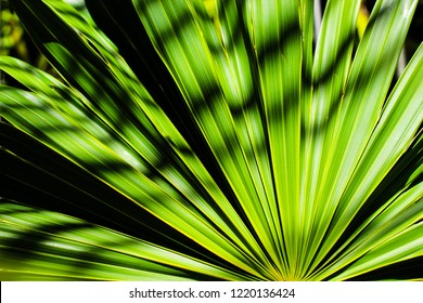 Palm tree leaf. Plant as Natural Texture Background. Green living. Tropical beach botanic. Playa del Carmen, Mexico.