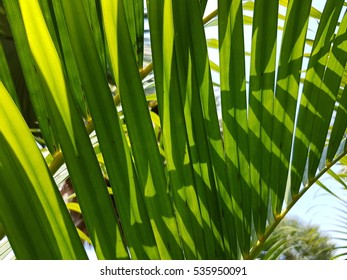 Palm tree leaf used as background