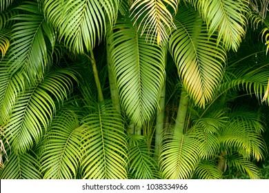 Palm tree leaves background, full frame. Hawaii, Maui, USA