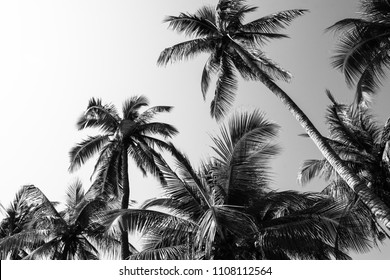 Palm tree with leaves background and texture, exotic print plant leaf jungle black and white color leaf coconut at nature summer wallpaper Tropical branch coco silhouette