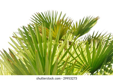 palm tree leaves isolated on white background, focus set on the middle layer