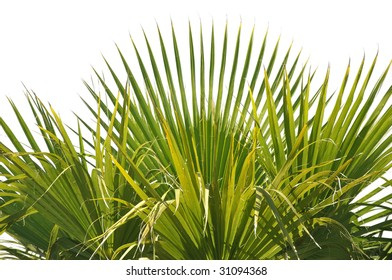 palm tree leaves isolated on white background