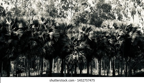 Palm tree with leaves isolated unique natural photo