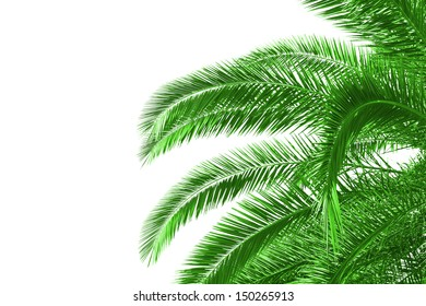palm tree leaves on white background