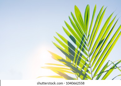 Palm Tree Leaves raise up on blue sky background.palm sunday concept.