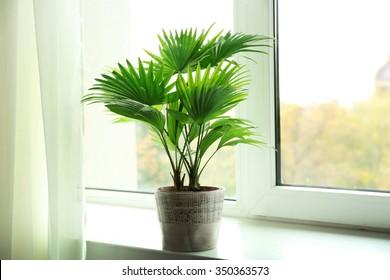 Palme Livistona Rotundifolia,1 Pflanze
