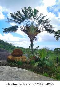 palm tree madagascar