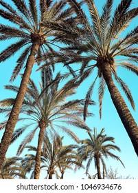 Palm tree in Majorca,Spain