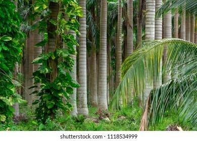 Palm tree nursery, dense forest or jungle of tree trunks - Davie, Florida, USA