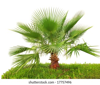 Palm tree on green grass (closeup, isolated)