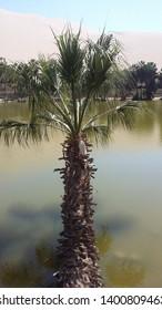 palm tree on oasis, june 2018, huacachina,peru,south america