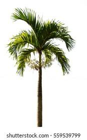 Palm tree on white background