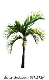 palm tree on white background,low key, green plant