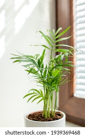 palm tree on the windowsill, Chamaedorea elegans, brown window