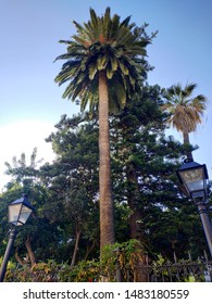 palm tree in the park of OROTAVA, Spain