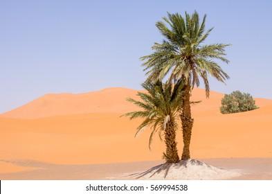 Palm tree in Sahara